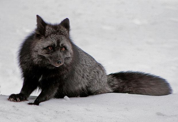 melanistic black fox صور الفوسا ابيض واسود   Photo fossa