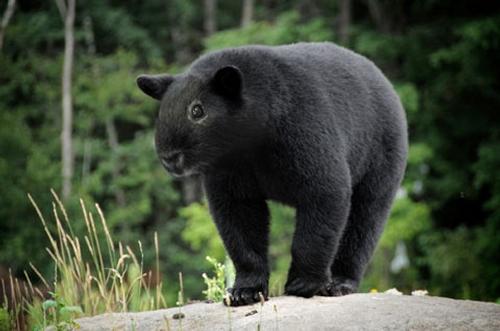 02-Guinea-Bear-Gyyp-Reddit-Animal-Mashups