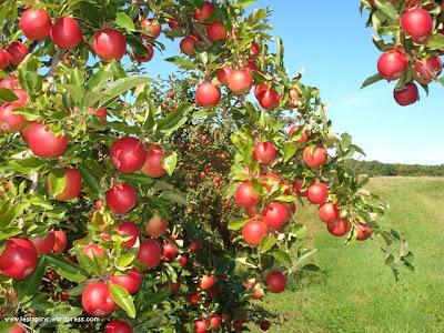 ujcs1gp2wji aaaaaaaahhc e9siffyl9pq s640 apple tree 284