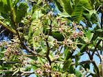 Blooming Cashew