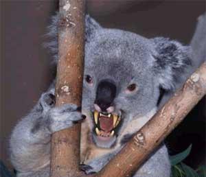 Koala Bear Angry s1600koala bear jpg