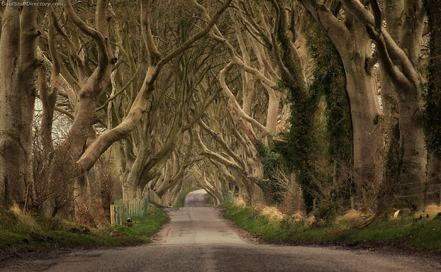 11. Dark Hedges of  Stranocum, Co Antrim; N.Ireland