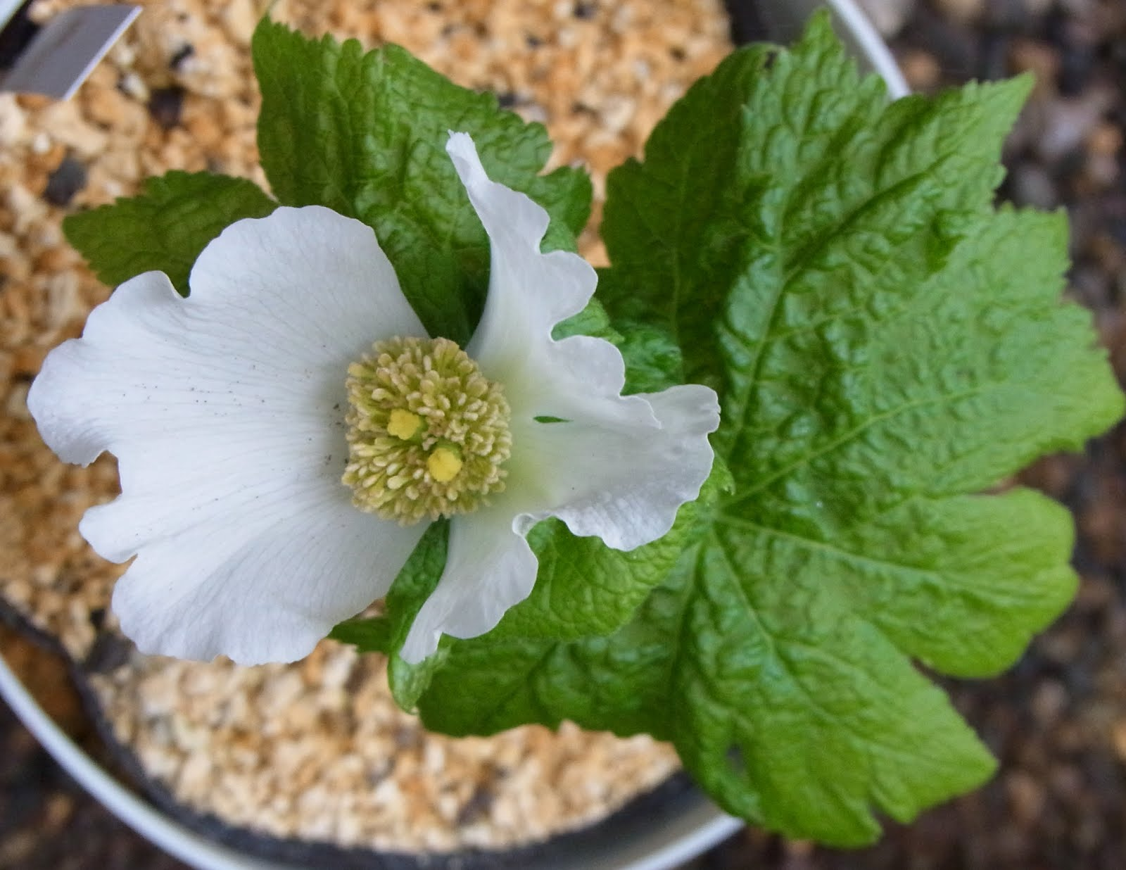 Glaucidium palmatum Siebold et Zucc.