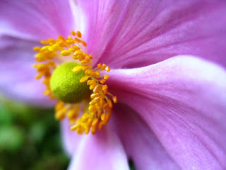 Close up of pink flower with yellow stamens