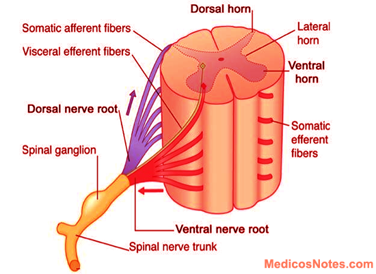 Formation And Parts Of Spinal Nerve