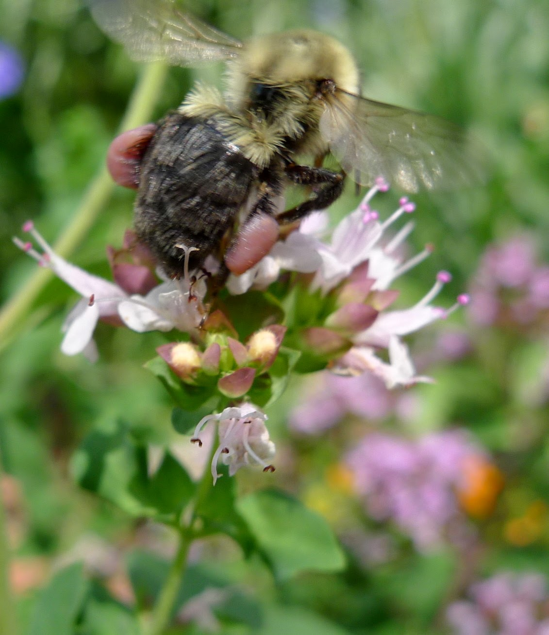 Bumble Bee on oregano, pollinators, urban farming