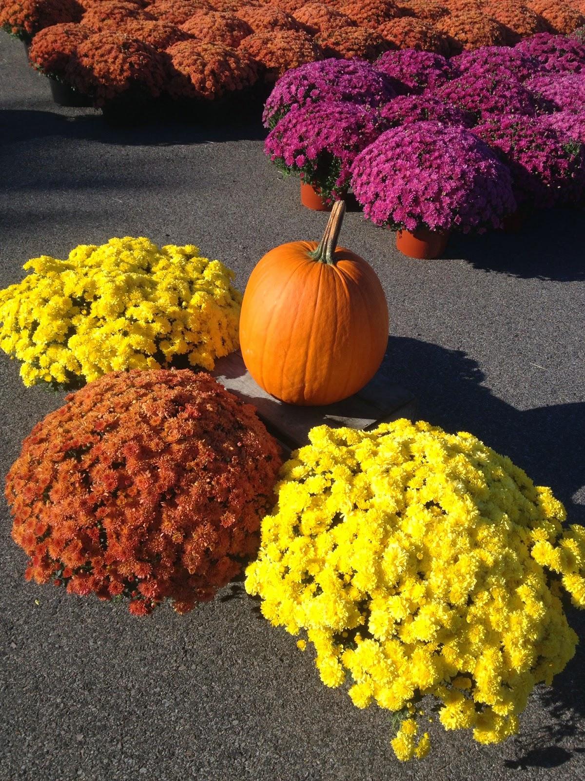 Fall mums and pumpkin