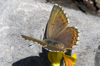 Para ampliar Polyommatus hispana, hembra anverso hacer clic