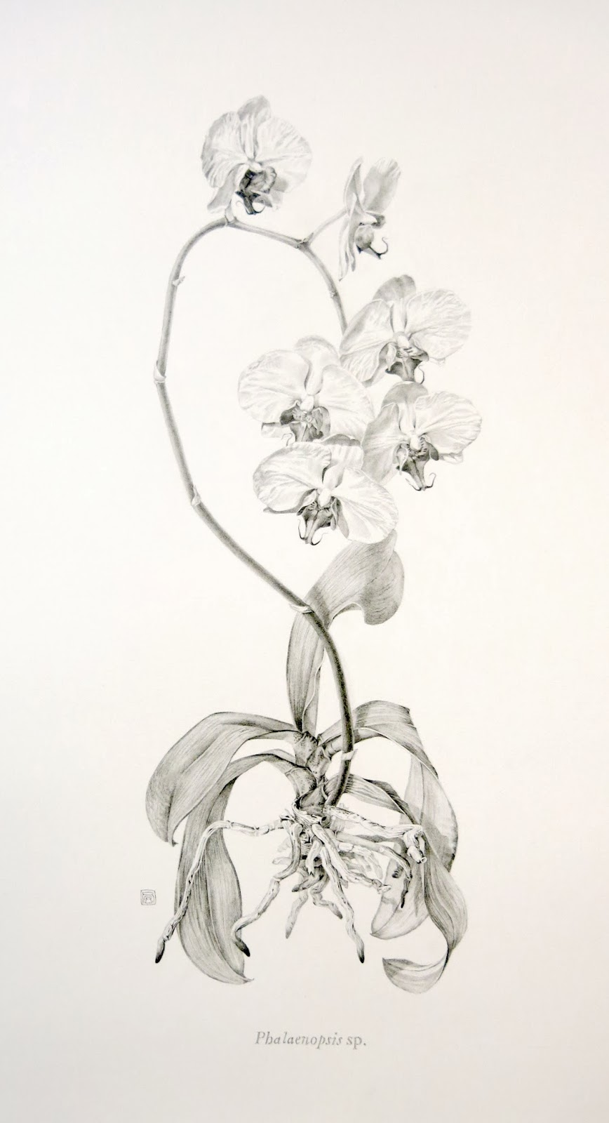 Orchid Scientific Drawing Orchids in Graphite