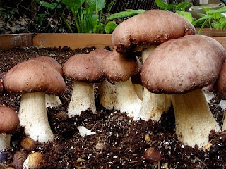 How To Grow Wine Caps Mushrooms