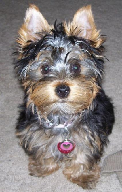 Dogs that look like yorkies