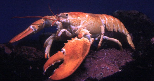 Exhibit Galleries Blog: The Language of Lobster