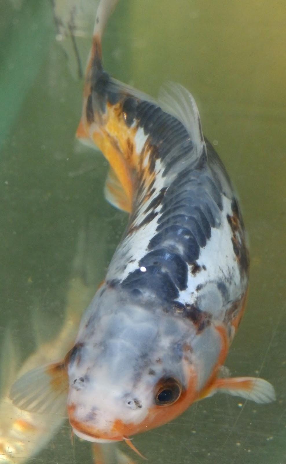 Reptiles amphibians fish the blue orange shusui koi carp for Carpe koi orange