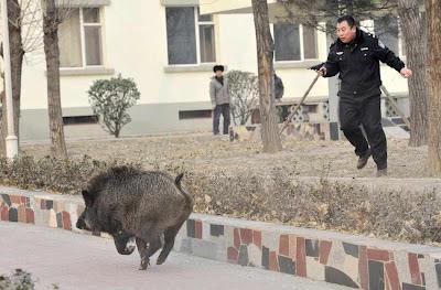 Taiyuan: porco do mato anda como em sua floresta.