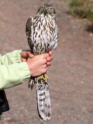 northern goshawk banded at Hawk Ridge