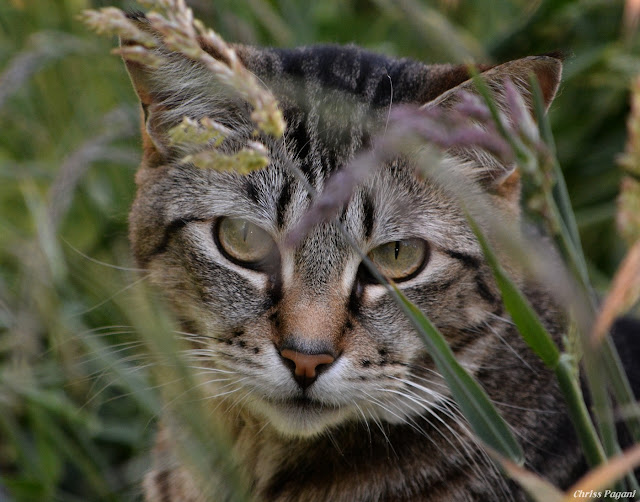 tabby cat hiding in grass photo