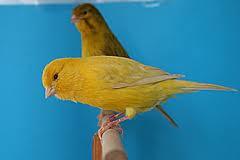 Cara Membuat Burung Kenari Cepat Berkicau