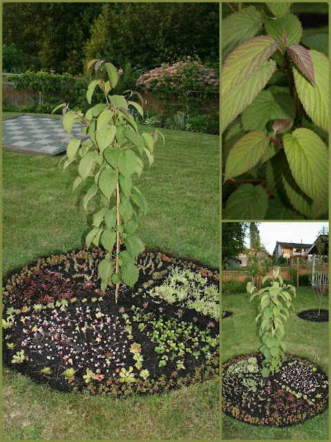 Davidia involucrata - Dove tree