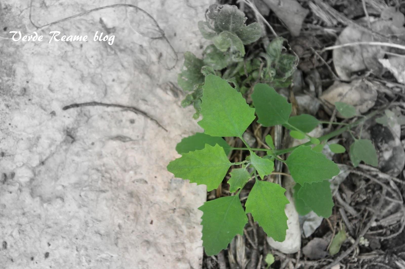 Verde reame elogi delle vagabonde - Nomi di piante da giardino ...