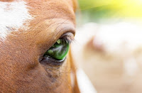 Horse close up eye
