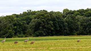 photo of sandhill cranes in farm field
