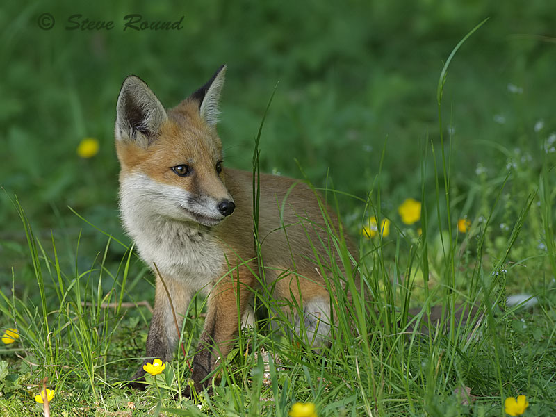 fox, mammal, nature, wildlife