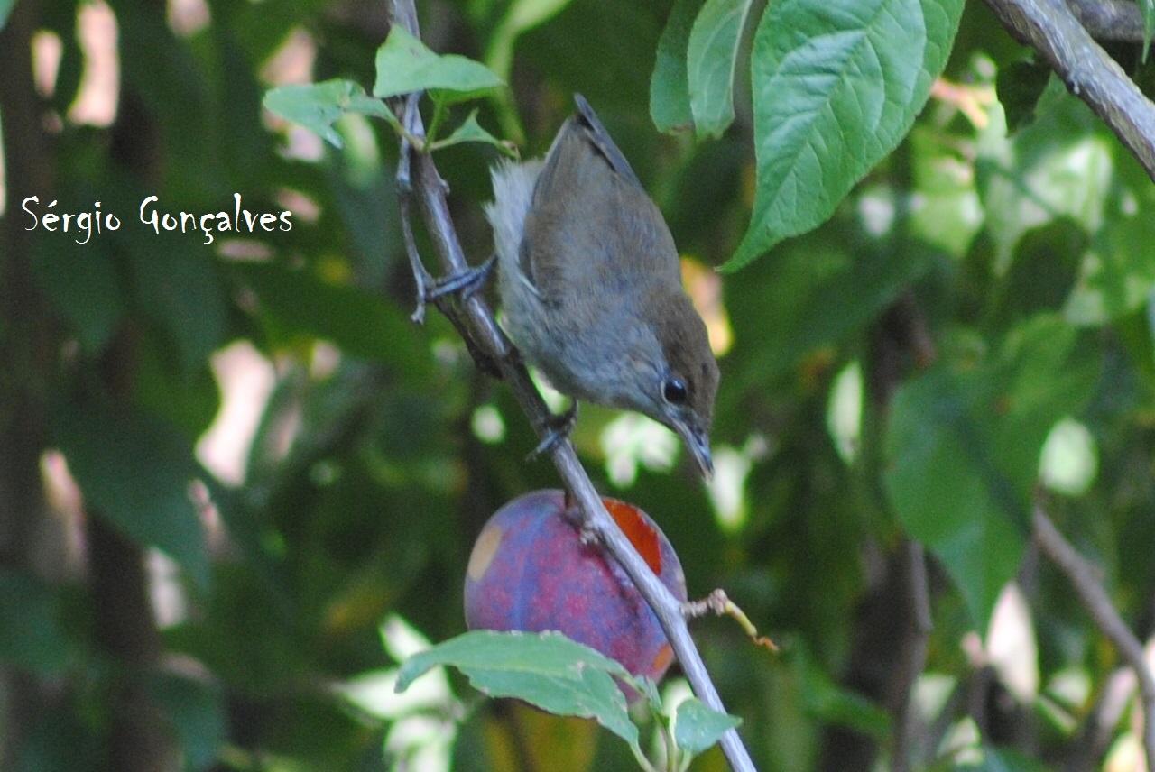 Toutinegra-de-barrete-preto (fêmea)