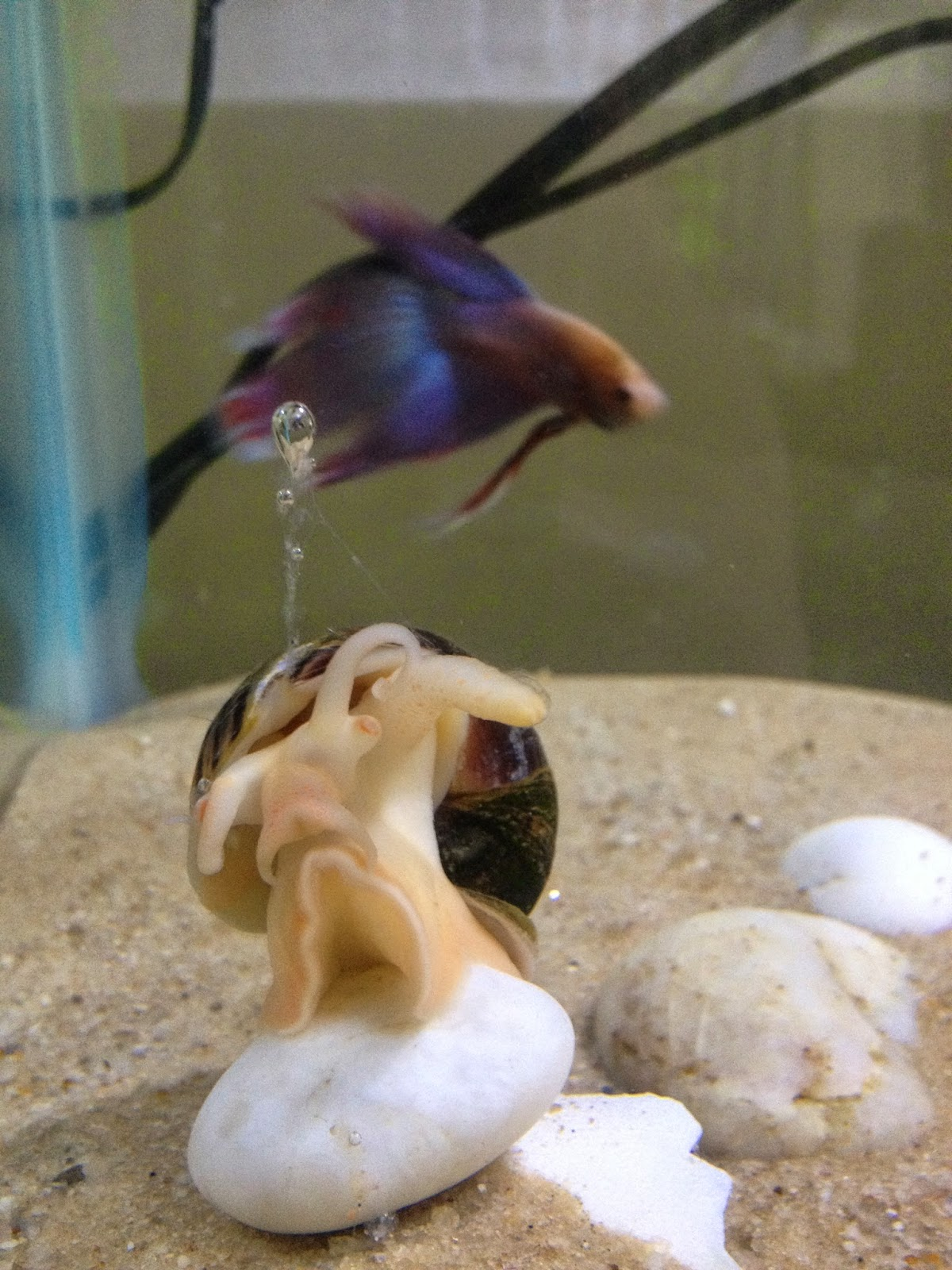 Freshwater fish for Betta fish together