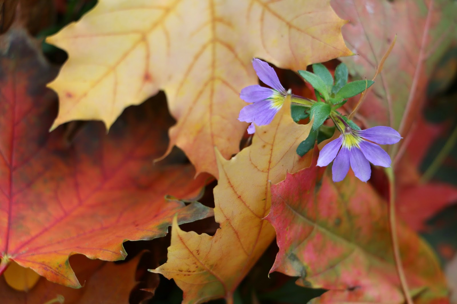 Colorful leaves of Canada-2, Photo: Shahrzad Ghaffari MVM, 23 oct.2014