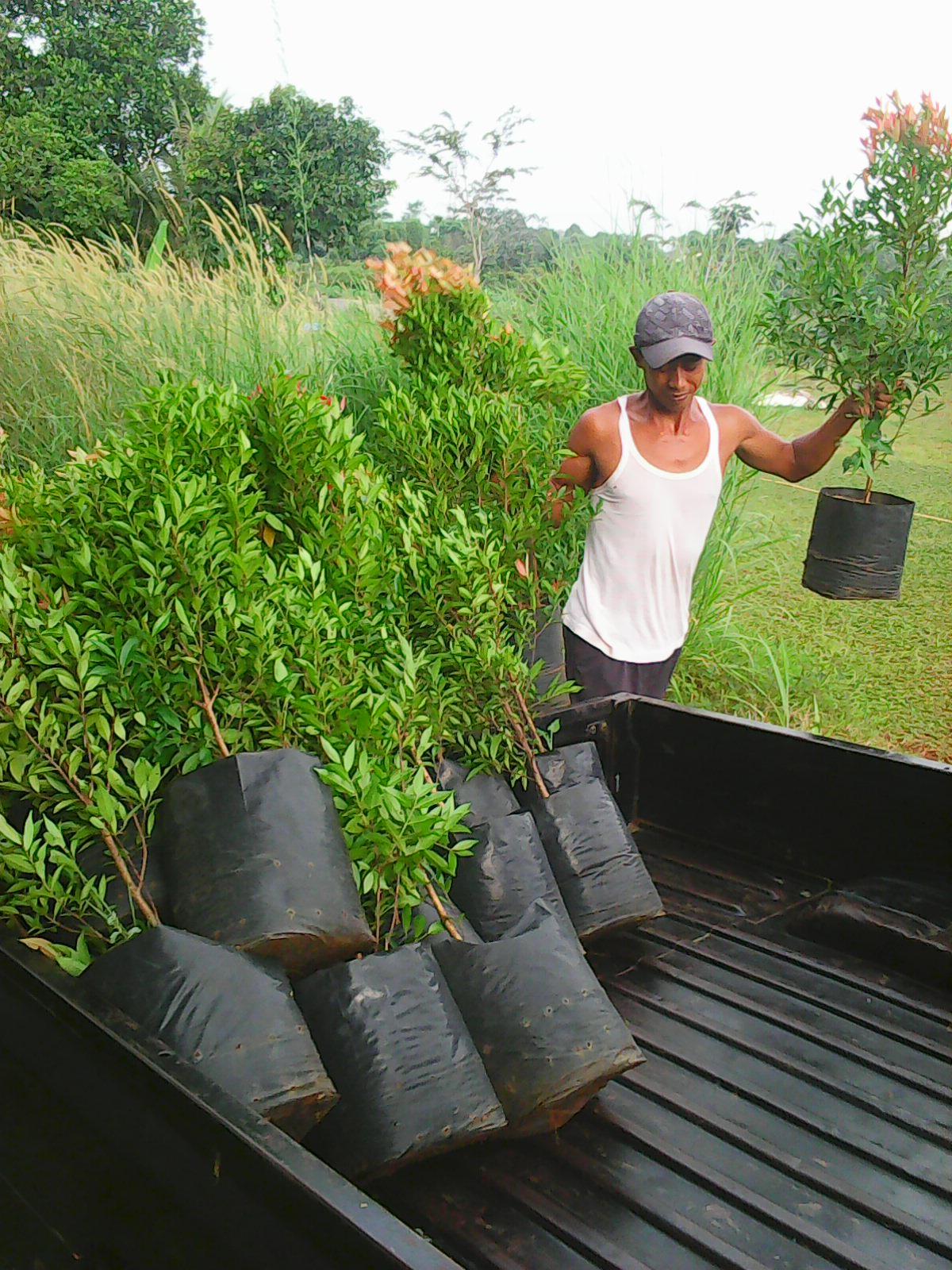 Tanaman Hias Pohon Jasa Tanam Pucuk Merah Biji Rumput Pasang Taman Petani Gajah Mini Golf Jepang Swis Benih Bermuda Grass Kolam Koi Ikan