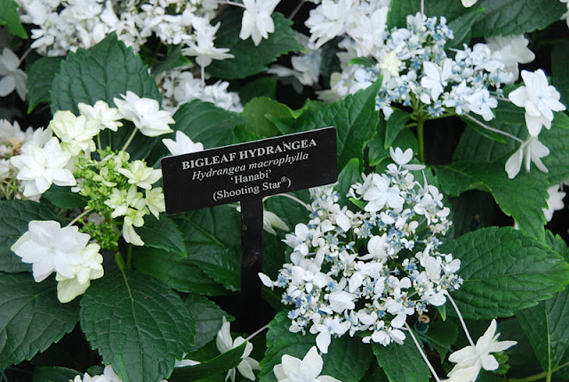 Hydrangea 'Shooting Star', a cousin to the one featured at the Phipps Christmas show this year
