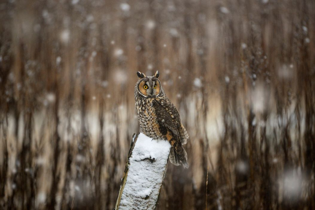 16. Photograph Long Eared Owl by Norman Ng