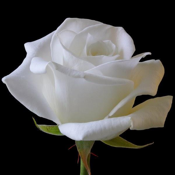 Image gallery rosas blancas - Significado rosas blancas ...