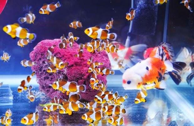 Mencampur Ikan Hias Air Laut Dengan Ikan Hias Air Tawar Dunia