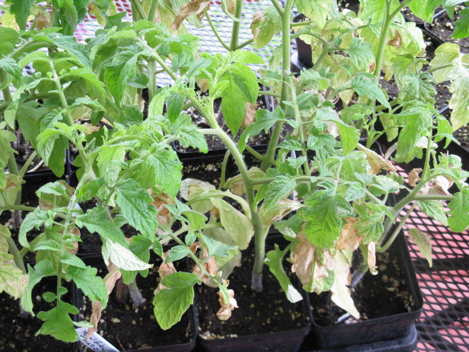 Почему сохнут листья у рассады помидор: проблемы выращивания 52