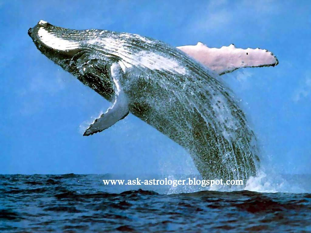 why do whales frequently rise to the surface of the water ?