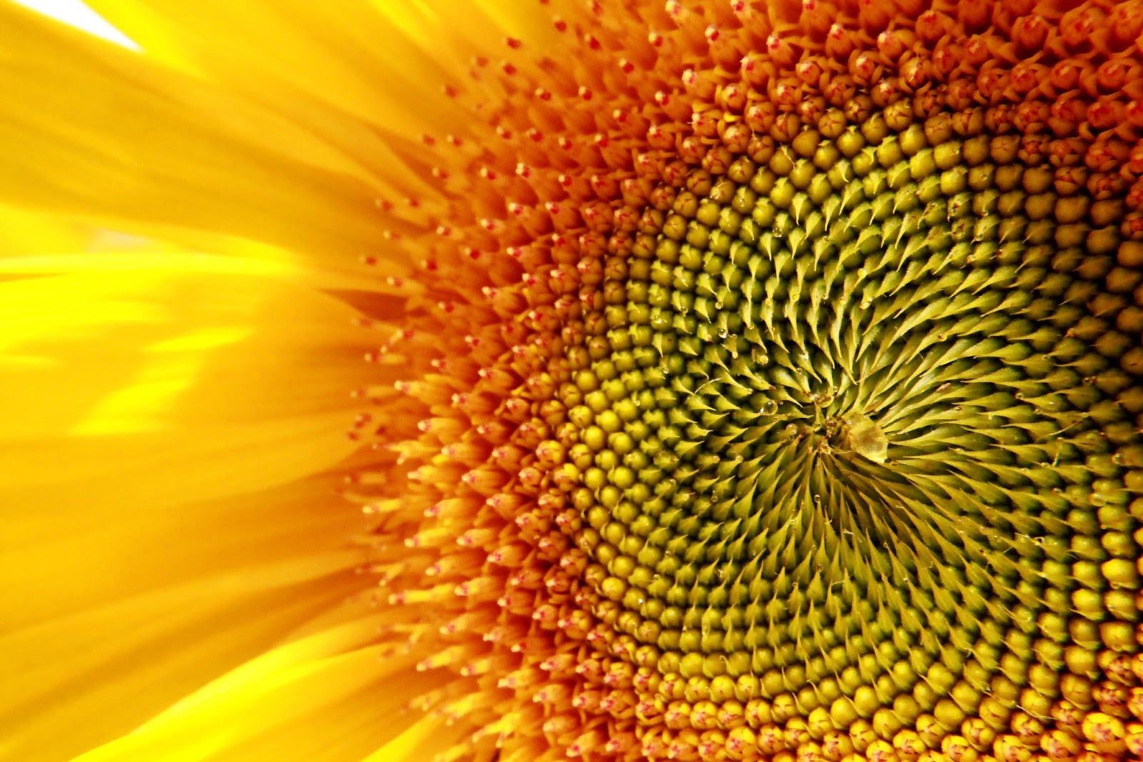 sturch photography sunflowers fibonacci and the zen of
