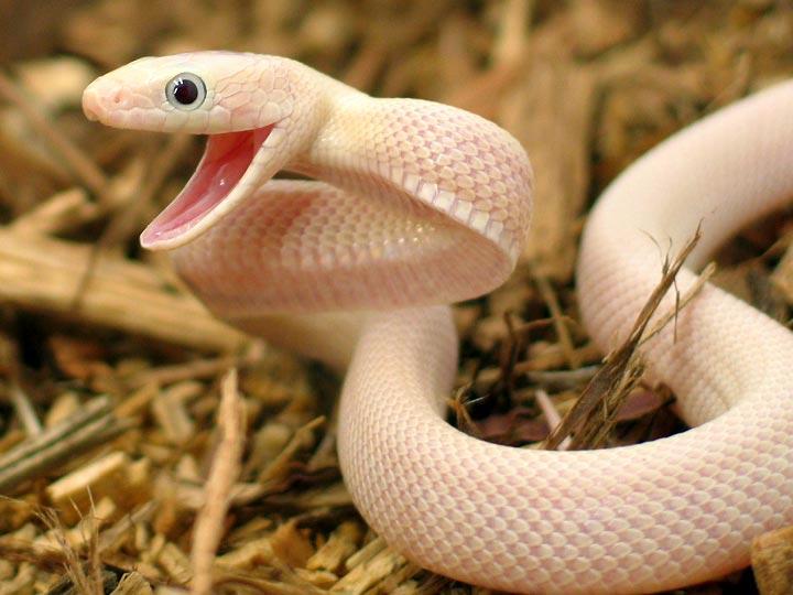 Serpente Papa Rato Texana Leucistica Elaphe Obsoleta