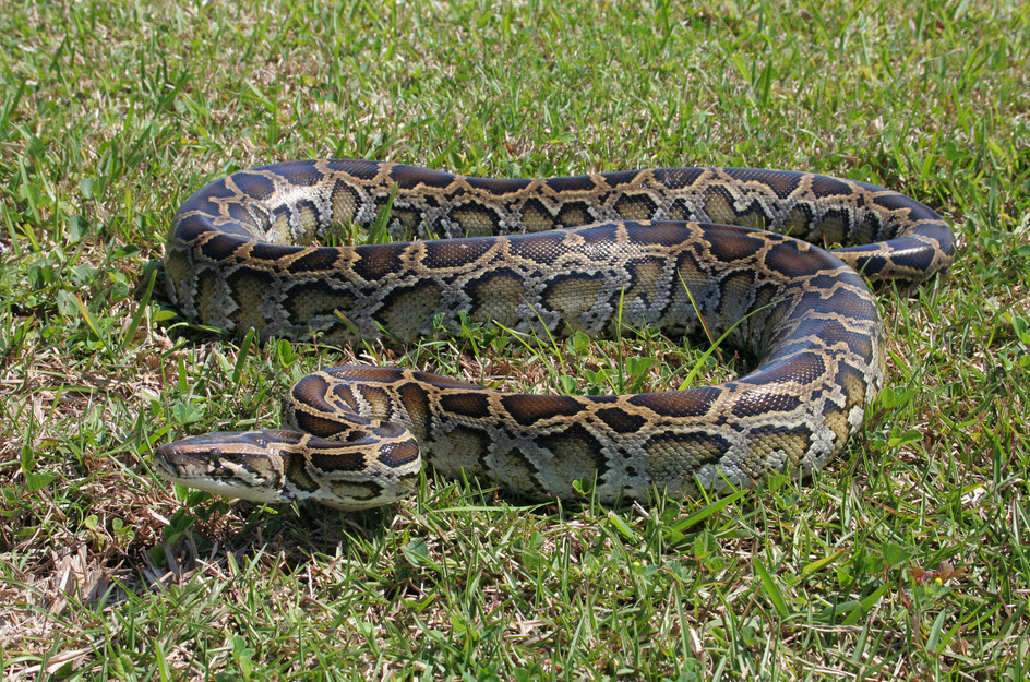 burmese pythons in the everglades
