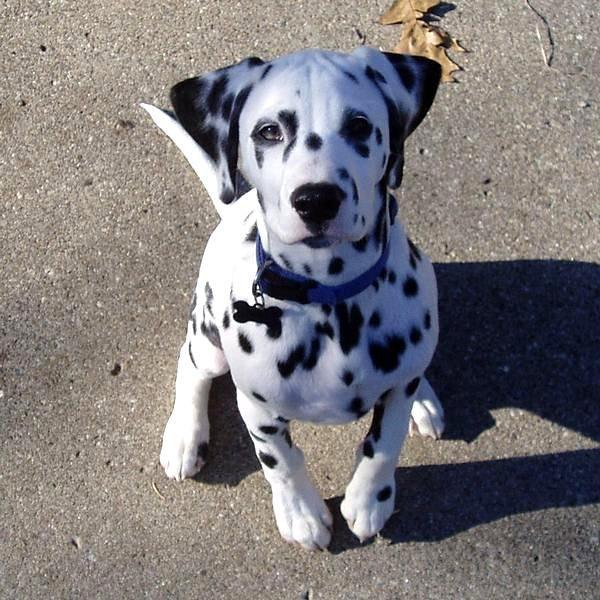 How to groom a Dalmatian?