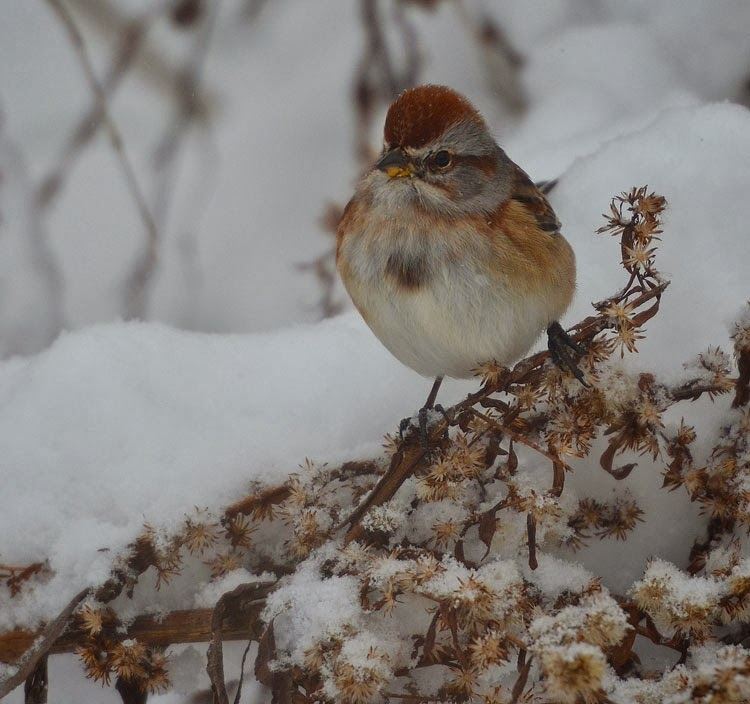 ...to ID these birds, look for a rusty cap, a two-toned yellow and black bill, and the dark spot (stickpin) in the chest. These sparrows resemble Chipping Sparrows, but they leave our area in the winter.