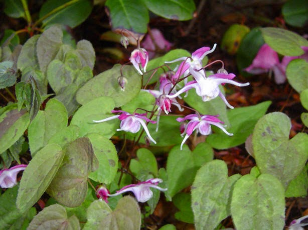 Benefits Of And Nutrition Epimedium (BarrenWort) For Health