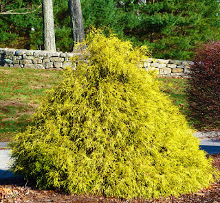 Threadleaf False Cypress 'Gold Mop'