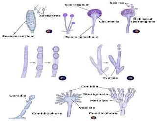 DIFFERENT TYPES OF ASEXUAL SPORE