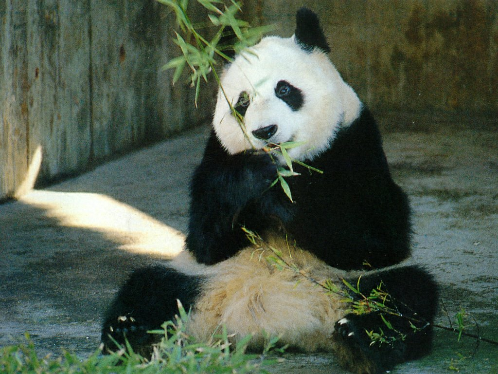 http://3.bp.blogspot.com/-qOgRTVmJWJ0/Tmf7ped8XkI/AAAAAAAAFso/L_-1qg8Hv9A/s1600/Funny+panda+desktop+wallpaper.jpg