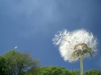 dandelion gone to seed flying in the wind
