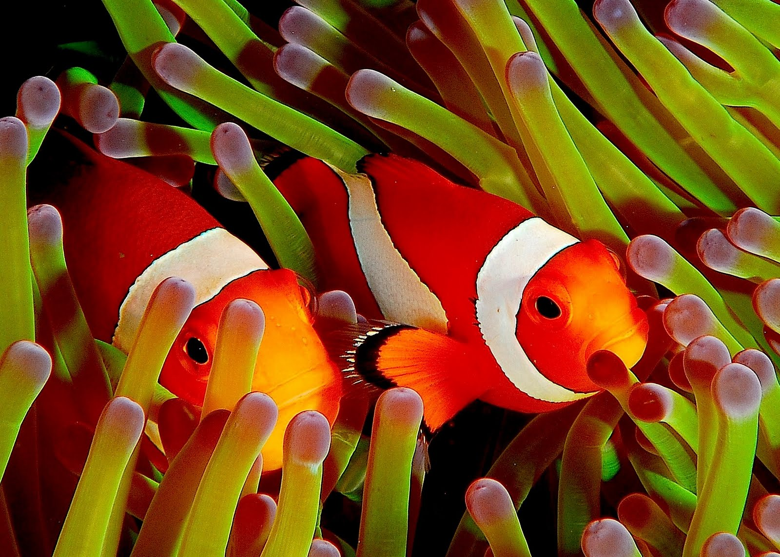 Peces payaso entre los arrecifes de colores - Clownfish