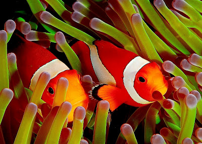 Pez payaso o Clownfish