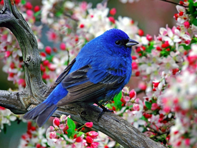 Blue Birds HD Wallpapers