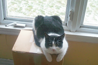 Tuxedo Cat sitting on box